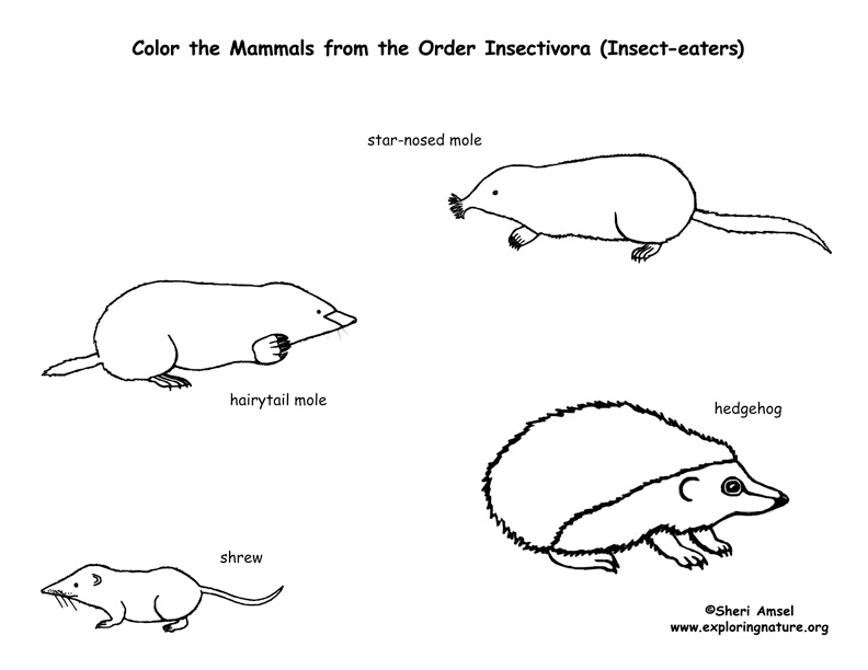 Moles, Shrews & Hedgehogs (Order Insectivores) Coloring Page