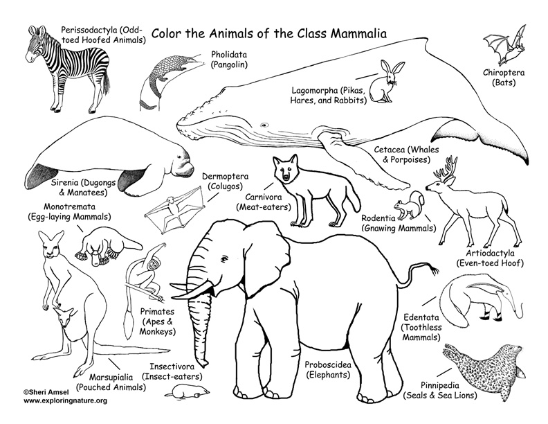 Mammals Coloring Page (Classification)