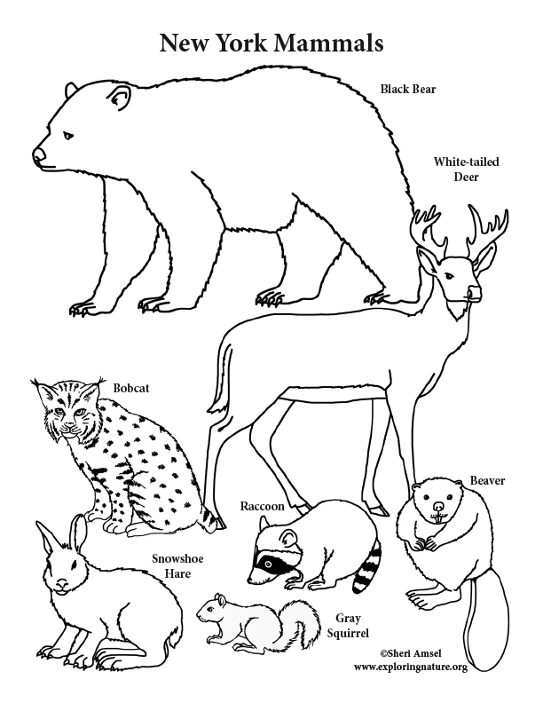 New York State Mammals Coloring Page