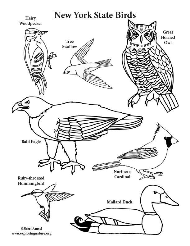 New York State Birds Coloring Page