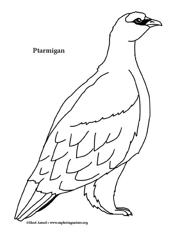 Ptarmigan Coloring Page