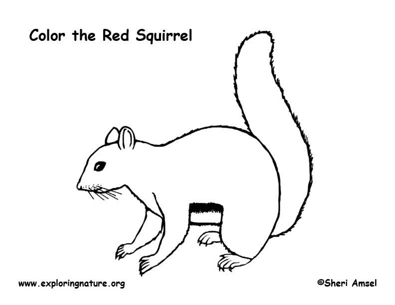 Squirrel Red Coloring Page