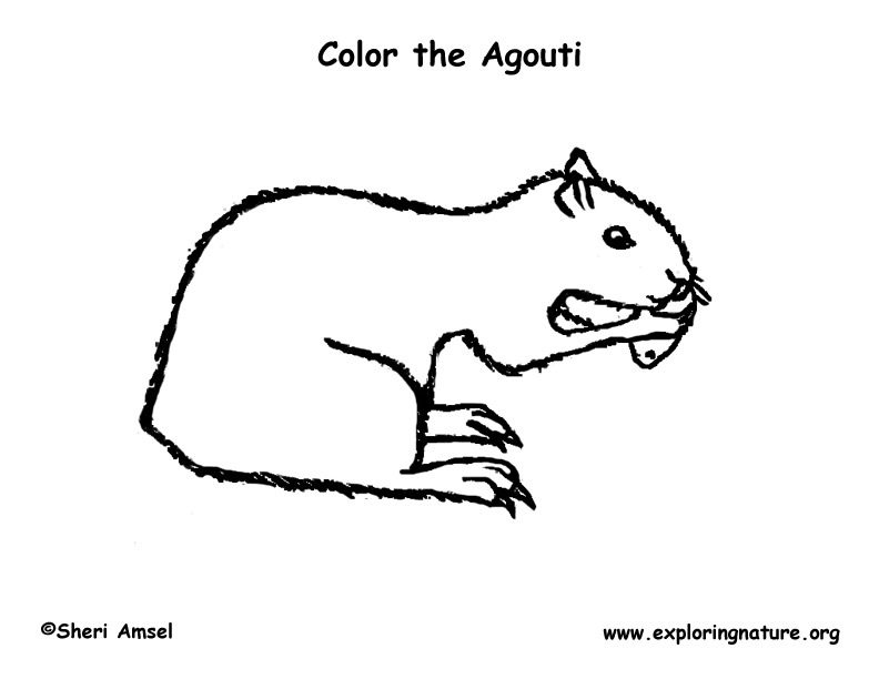 Agouti Coloring Page Exploring Nature Educational Resource