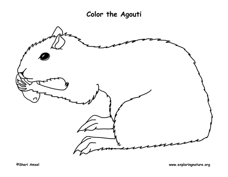 Agouti Coloring Page