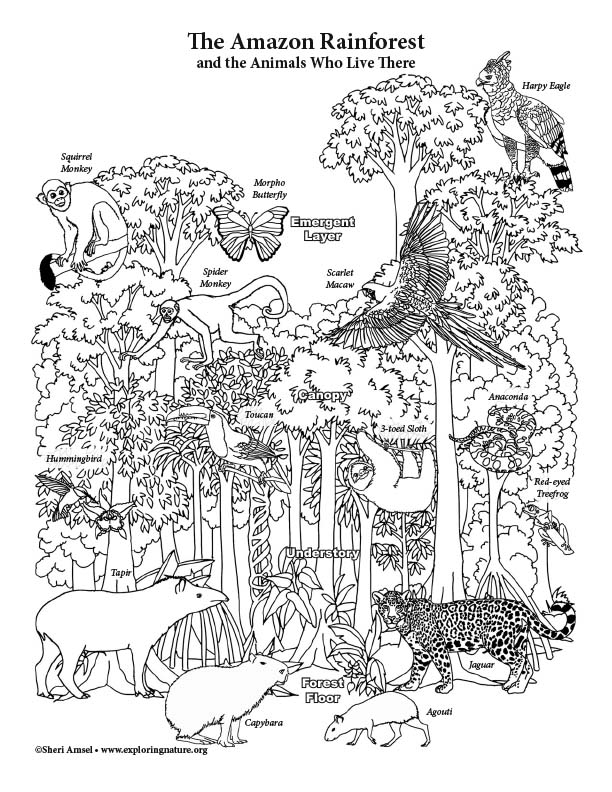 Amazon Rainforest Layers - Coloring Page