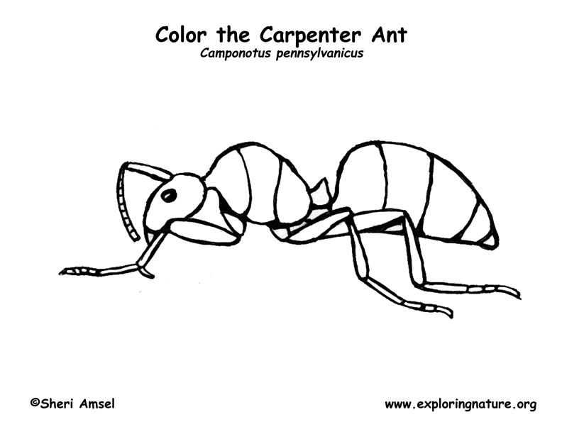 Carpenter Colouring Pages Ant Carpenter Coloring Page