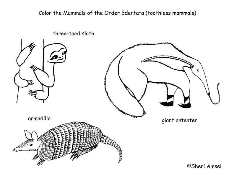 Sloths Anteaters Armadillo Toothless Mammals Coloring