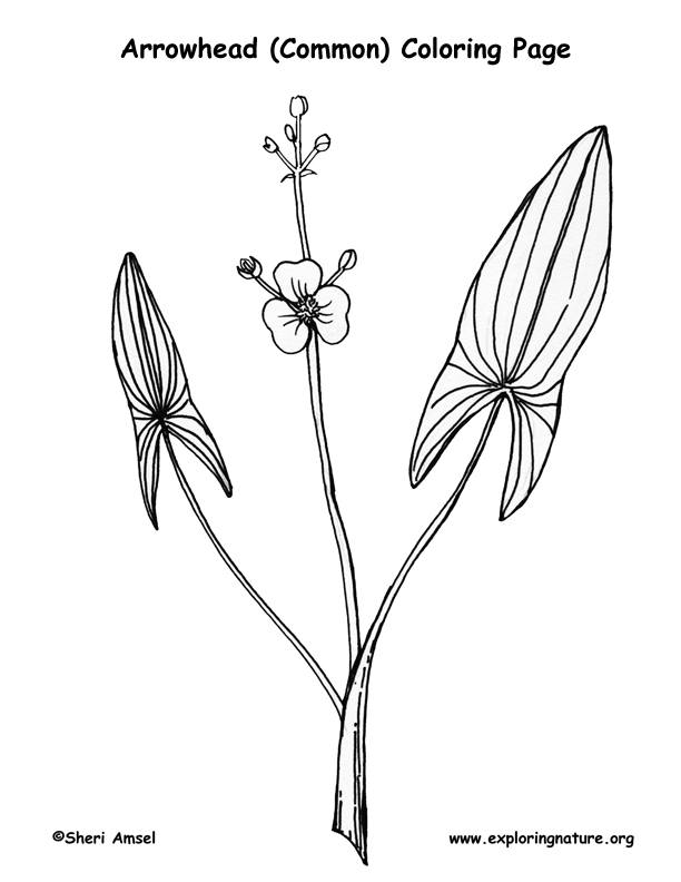 Arrowhead (Common) Coloring Page