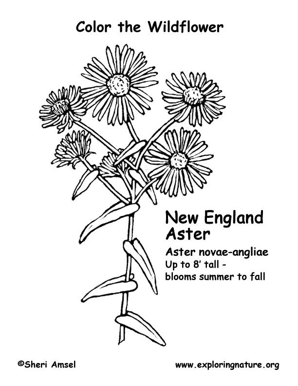 Aster Flower Coloring Pages and