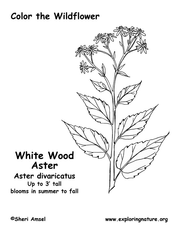 Aster (White Wood) Coloring Page