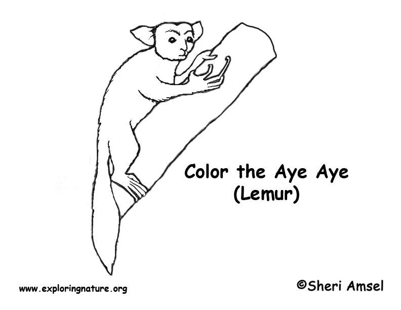 Aye aye lemur coloring page exploring nature for Lemur coloring pages