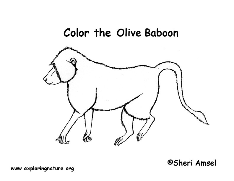 baboon animal coloring pages.  Baboon Coloring Page