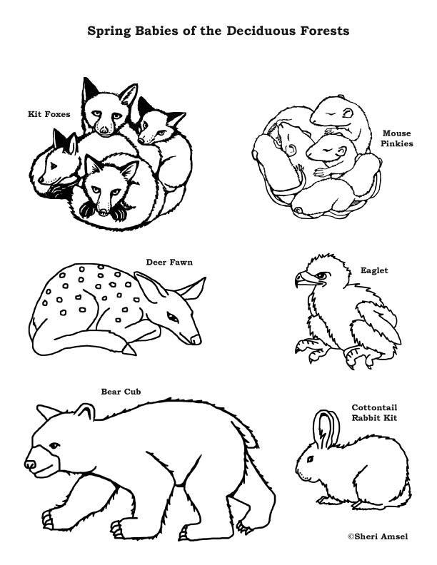 Baby Animals Of The Deciduous Forest Coloring Page