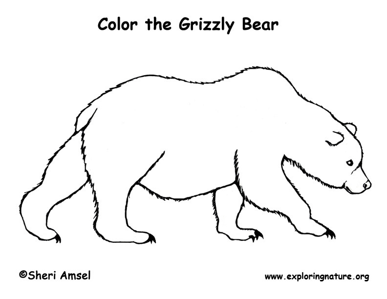 Grizzly Bear Drawing In Color Grizzly Bear Coloring Page