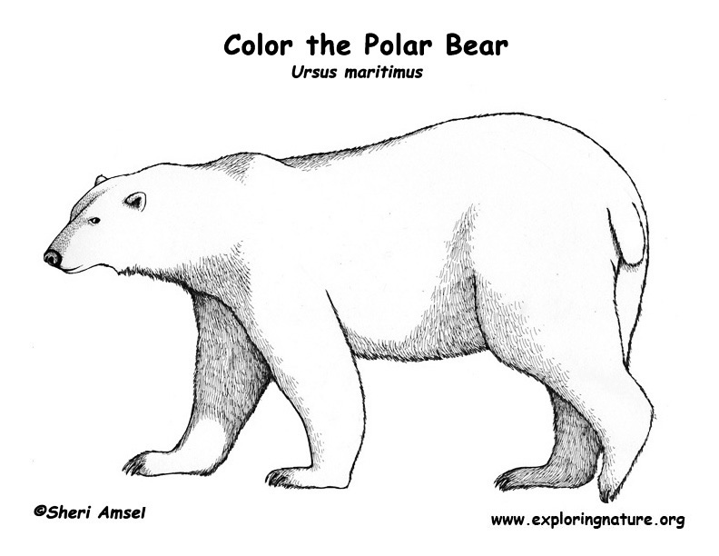 Bear Polar Coloring Page