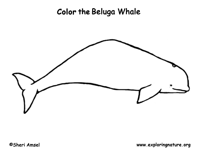 whale beluga coloring page
