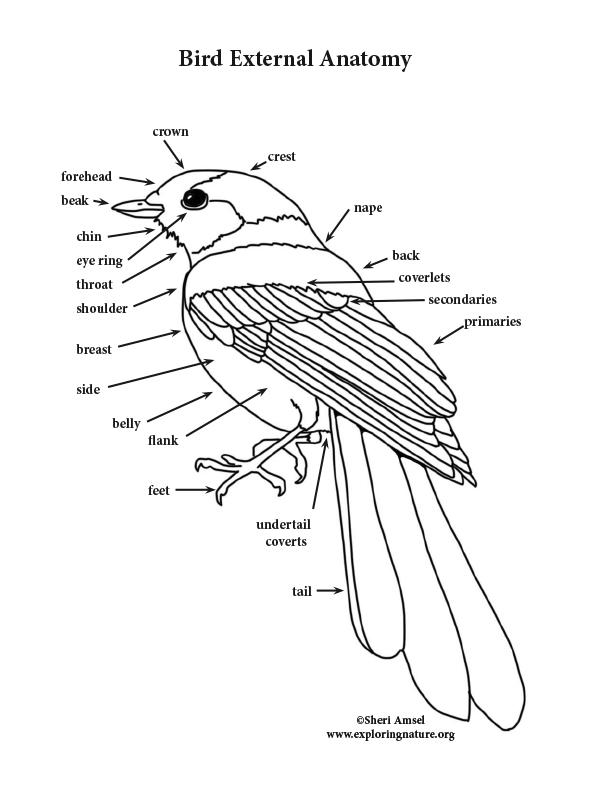 Bird External Anatomy Coloring Page