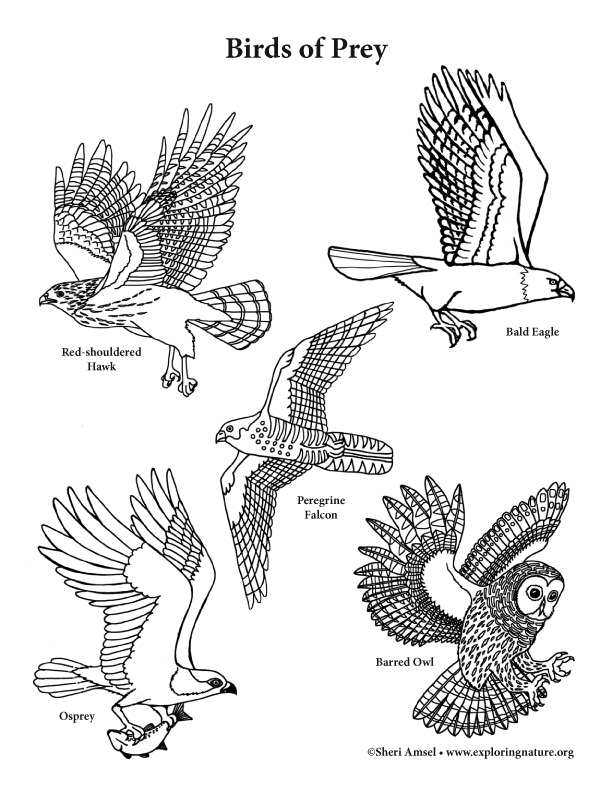 Birds Of Prey Coloring Page Vertical View