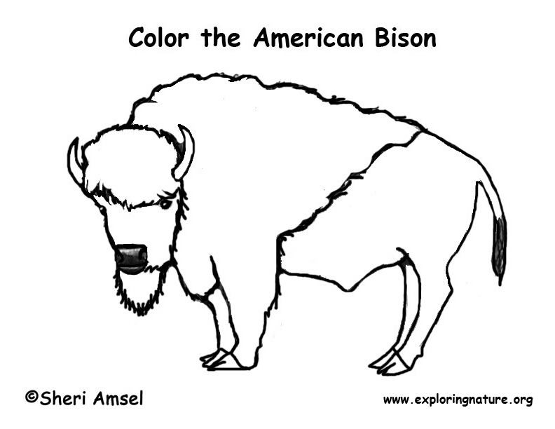 Bison free colouring pages for Bison coloring pages