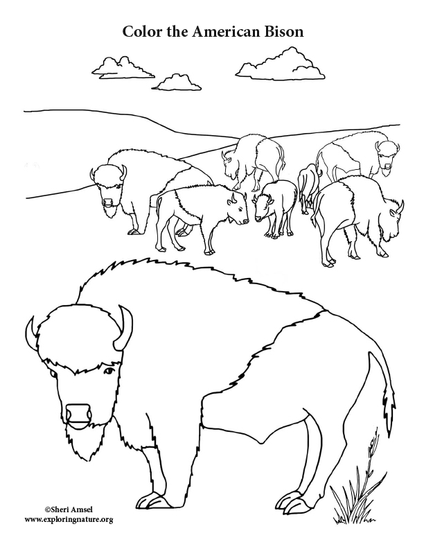 Bison Herd Coloring Page