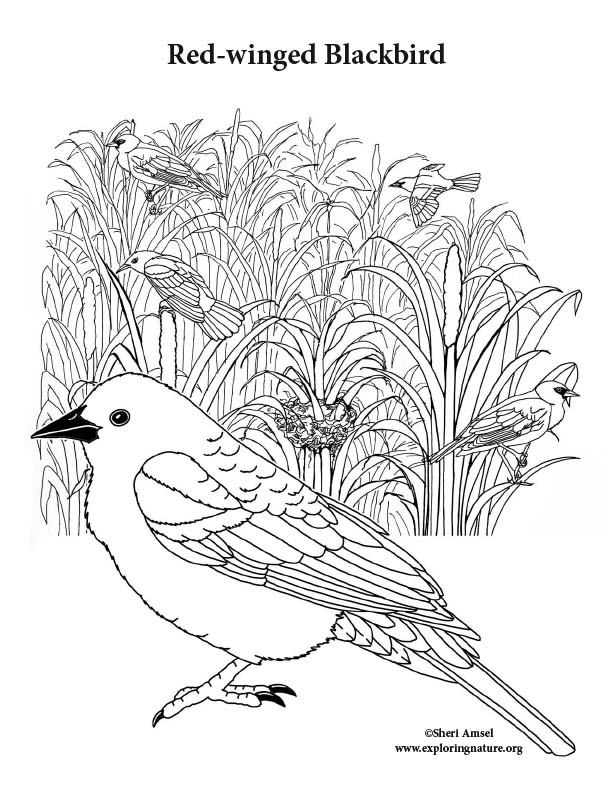 Red-winged Blackbird Coloring Page