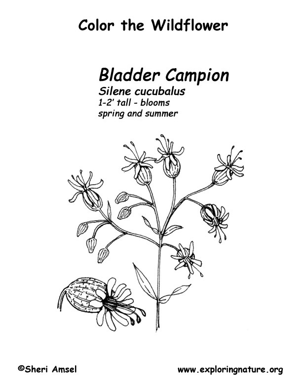 Bladder Champion Coloring Page