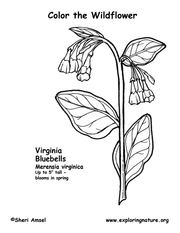 Bluebells (Virginia) Coloring Page