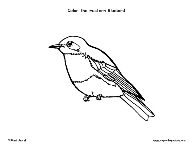 Bluebird Coloring Sheet Coloring Pages Blue Bird Coloring Pages