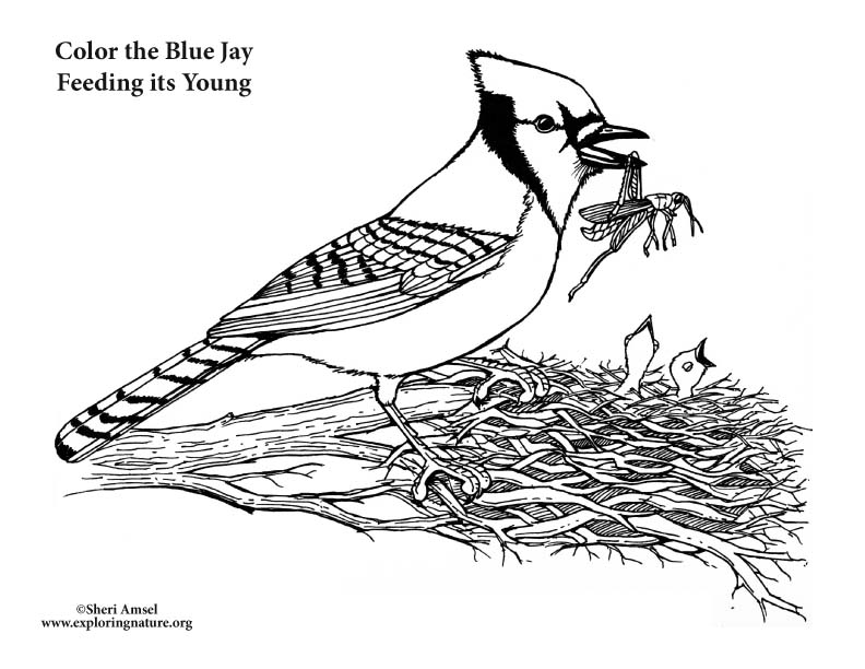 Blue Jay Feeding Young Coloring Page