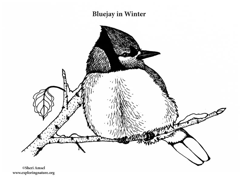 Blue Jay in Winter Coloring Page