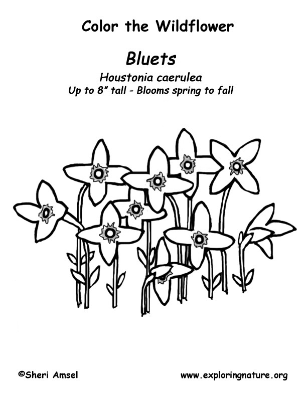 Bluets Coloring Page