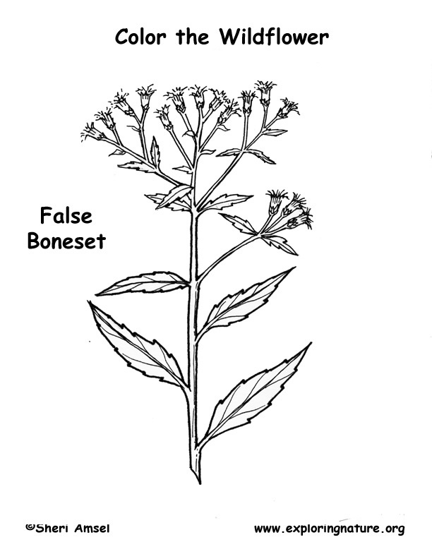 Boneset (False) Coloring Page