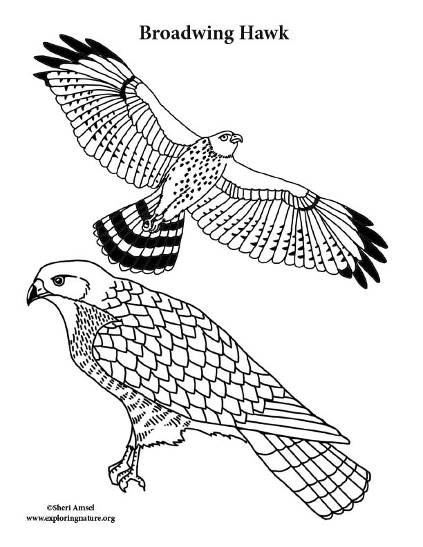 Broadwing Hawk Coloring Page