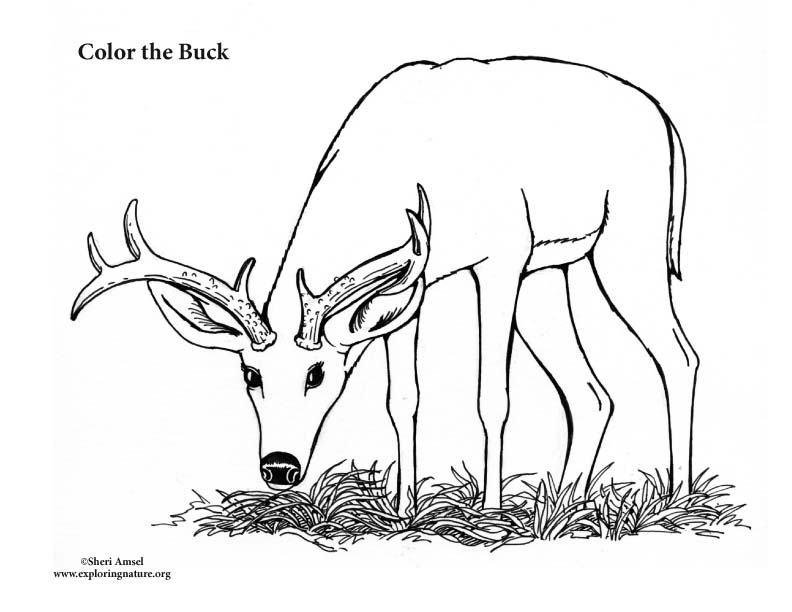 buck male deer coloring page