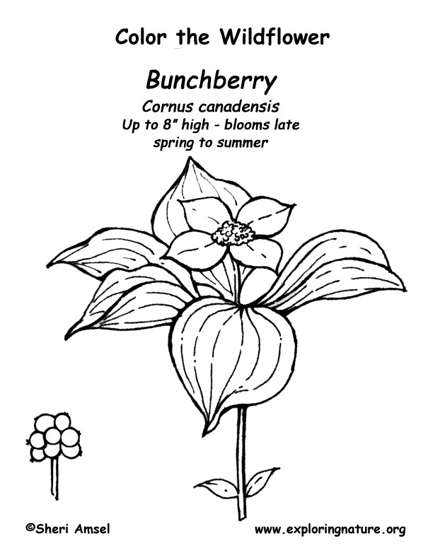 Bunchberry Coloring Page