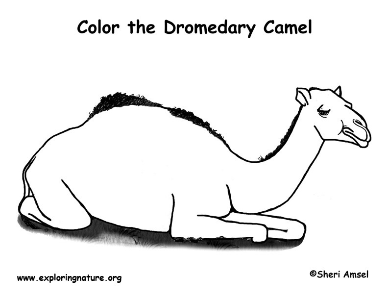 Camel Dromedary Coloring Page