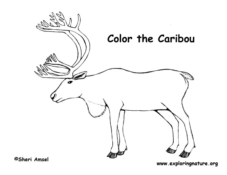 Caribou Drawing