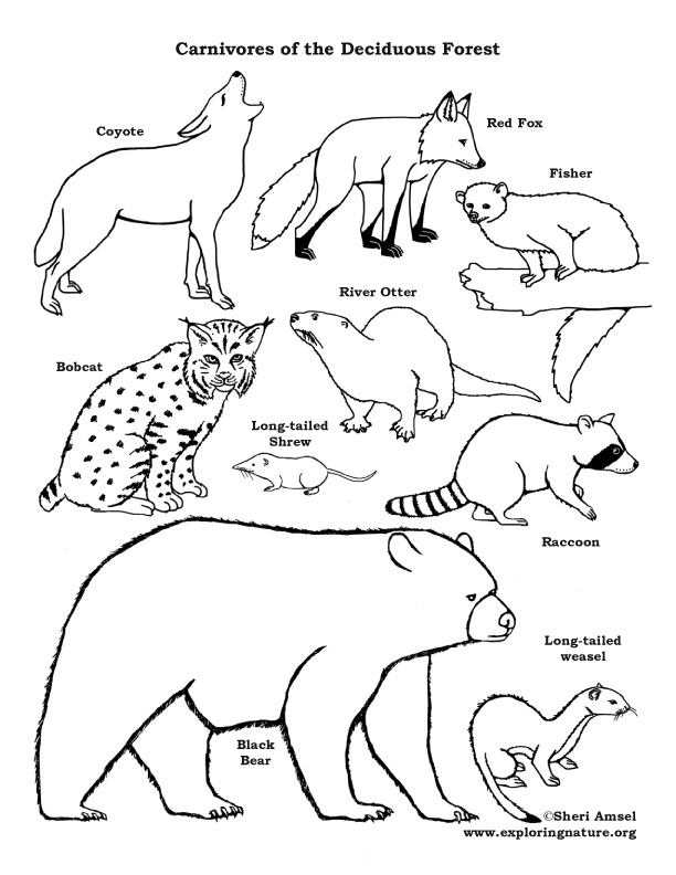 Carnivores of the Deciduous Forest Coloring Page