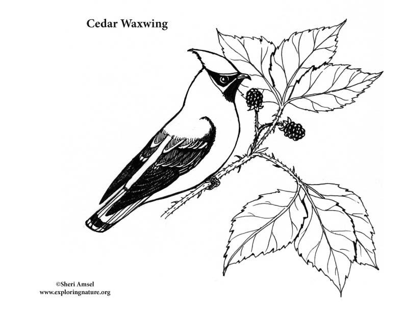 Cedar Waxwing Coloring Page