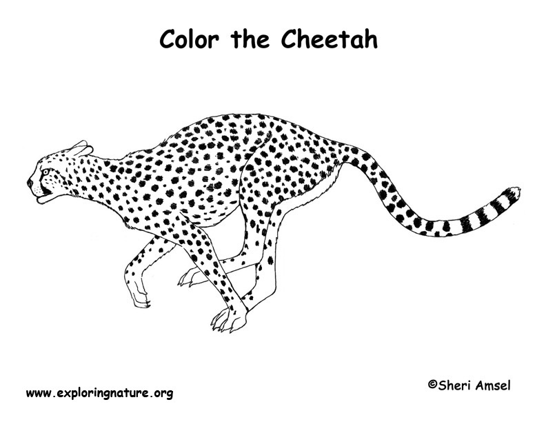 cheetah coloring pages - photo#24