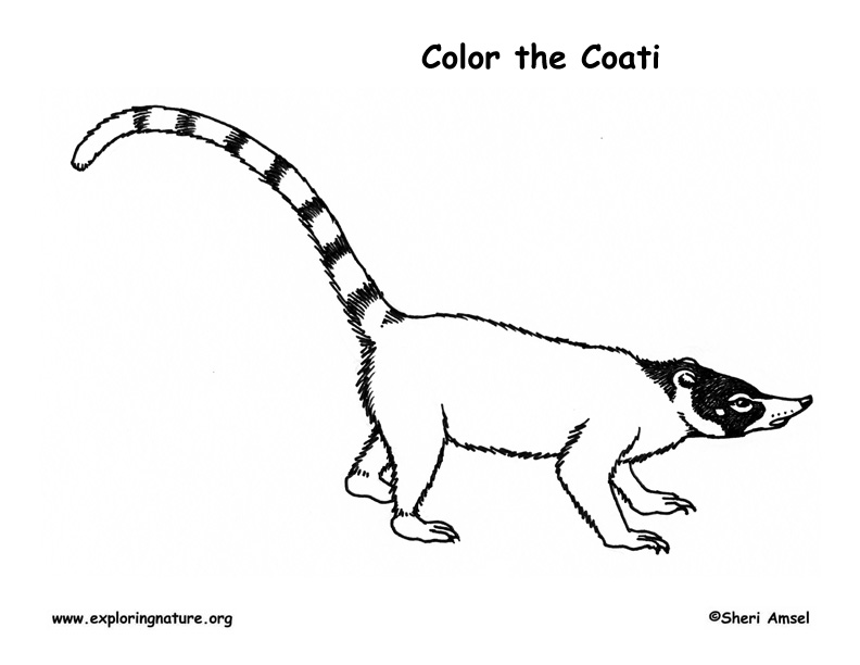 Coati Coloring Page