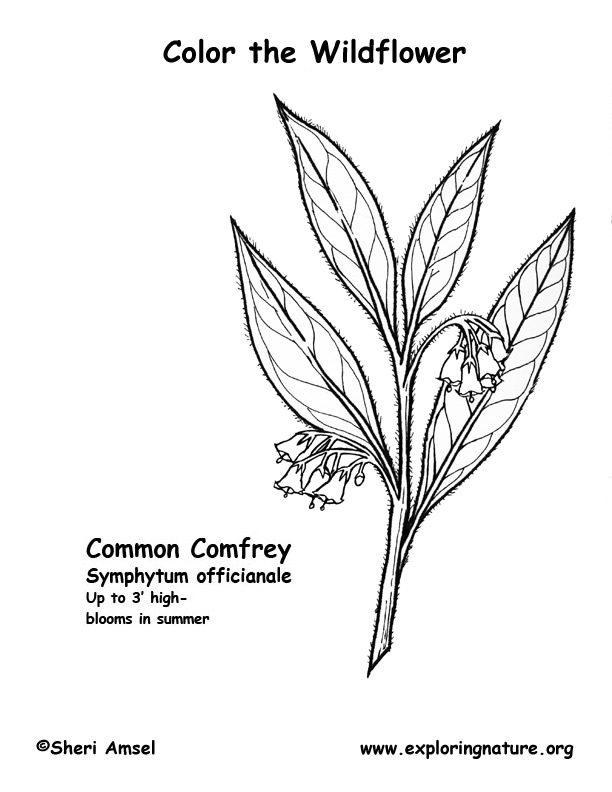 Comfrey Coloring Page