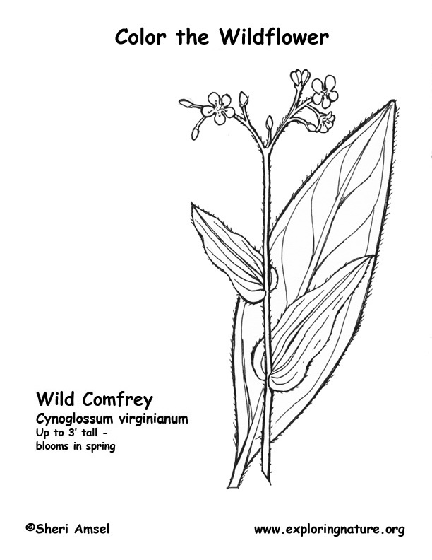 Comfrey (Wild) Coloring Page