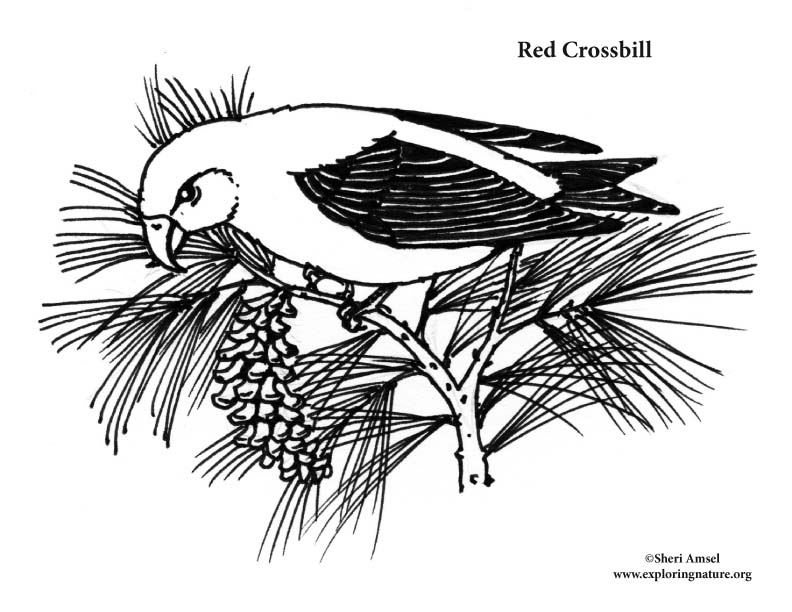 Crossbill (Red) Coloring Page