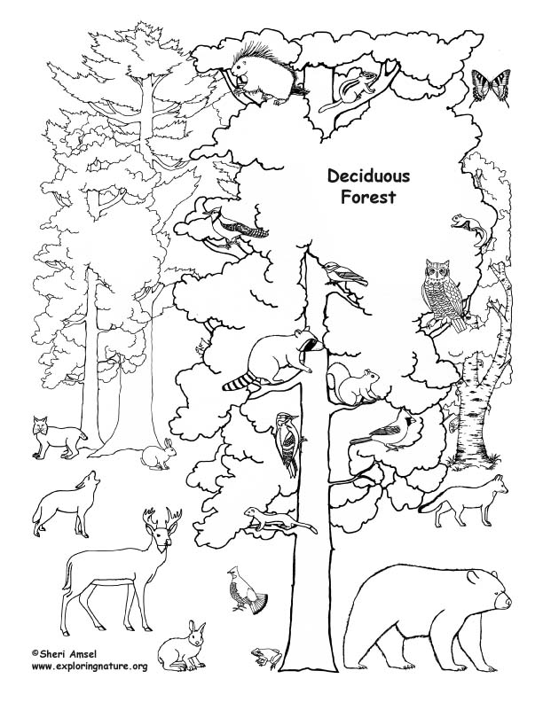 deciduous forest with animals coloring page. Black Bedroom Furniture Sets. Home Design Ideas