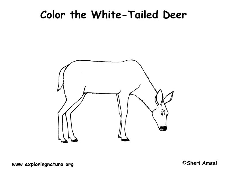 Deer White Tailed Coloring Page