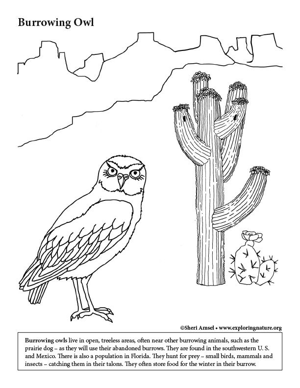 Desert Burrowing Owl Coloring Page