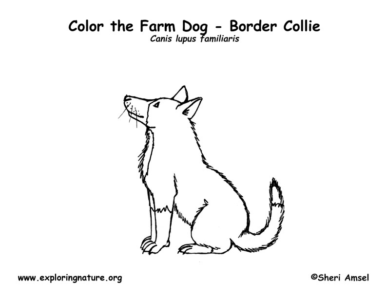 Farm Dog Border Collie