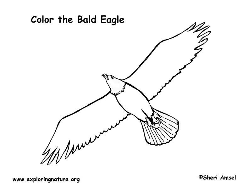 Eagle (Bald) Coloring Page