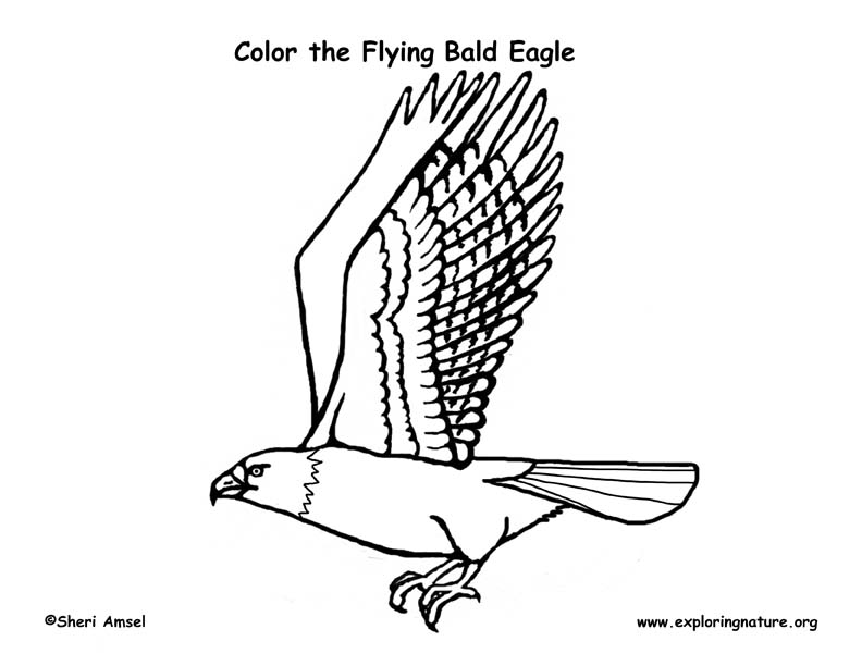 Eagle Bald Flying Coloring Page